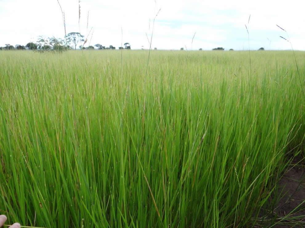 Kikuia (Humidícola)
